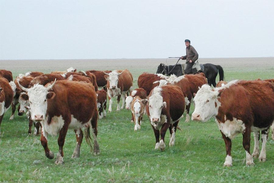 Почему акбасы идеальны для казахской степи